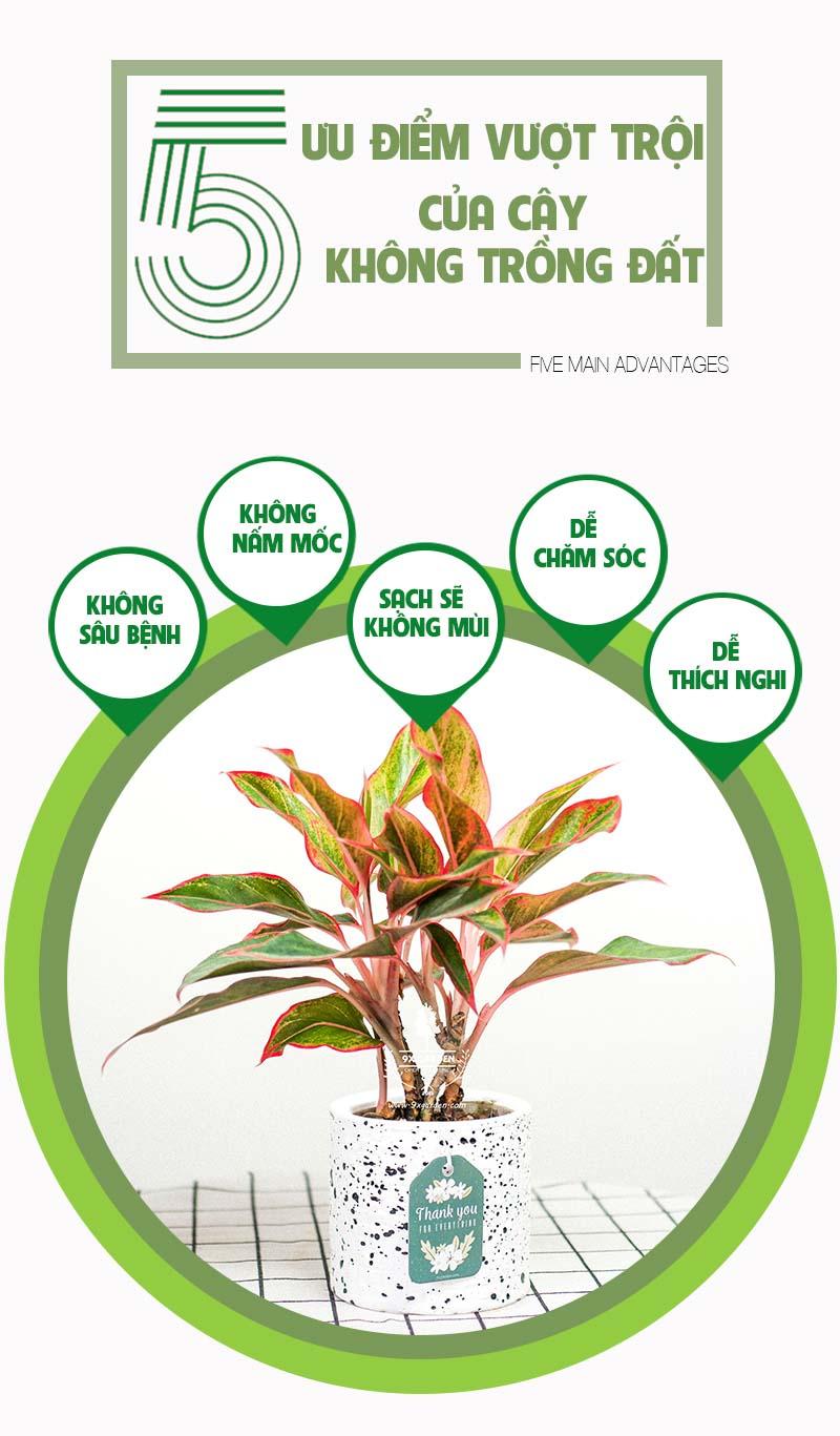 Cây Phú Quý - Cây Trồng Không Cần Đất 9X Garden