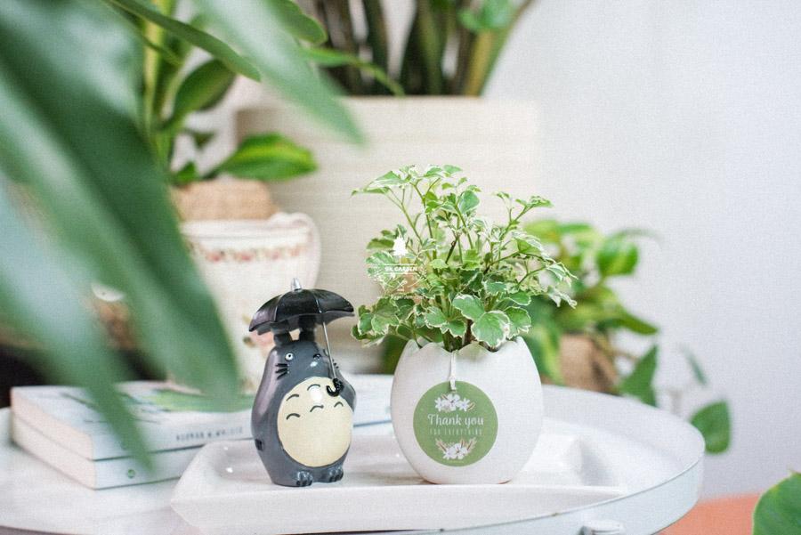 Cây Đinh Lăng Cẩm Thạch x Trứng Oasis - Cây Cảnh Min