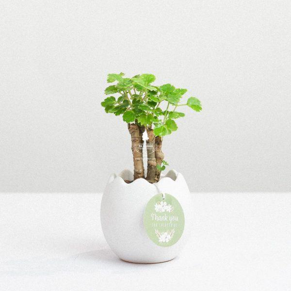 Cây Đinh Lăng Xanh x Trứng Oasis - Cây Cảnh Mini Không Cần Đất - 9X GARDEN