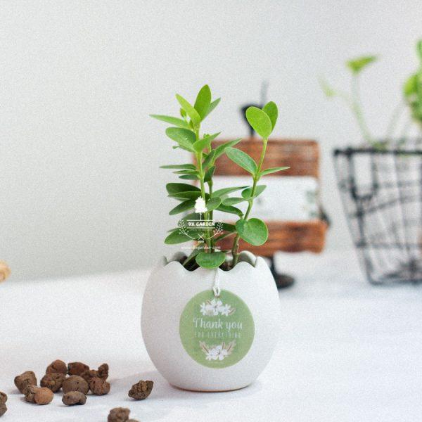 Cây Hoya Tròn x Trứng Oasis - Cây Cảnh Mini Không Cần Đất - 9X GARDEN