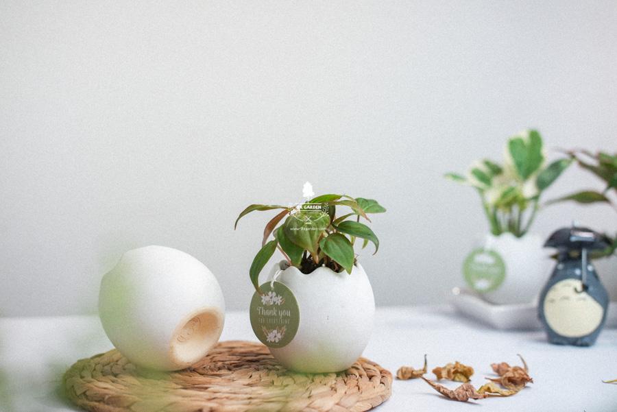 Trầu Bà Micans x Trứng Oasis - Cây Cảnh Mini Không Cầ