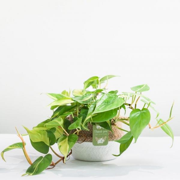 Trầu Bà Brasil (Philodendron Brasil) x GCS - Cây Trồng Kh